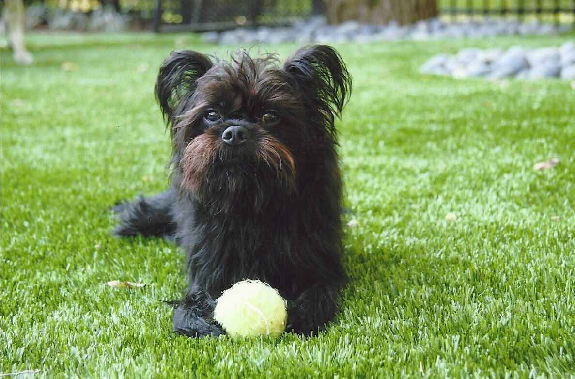 Small black dog lays on artificial dog grass with a yellow tennis ball
