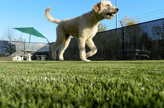 Large white terrier mix walks on artificial pet turf at Kansas dog park