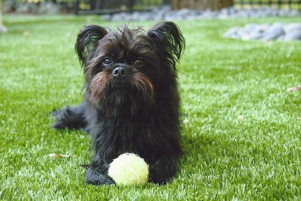 Small black terrier poses on artificial pet turf with tennis ball