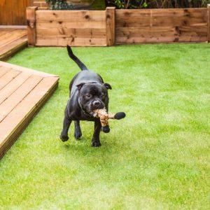 dog running on artificial grass